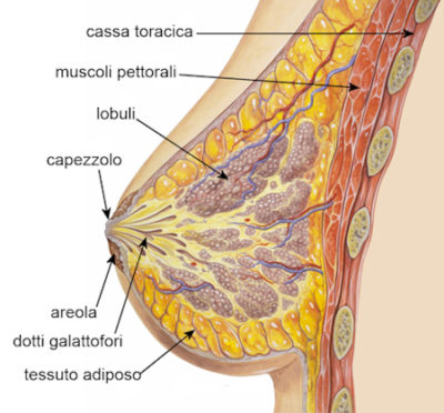 BellezzaSeno-Venusia